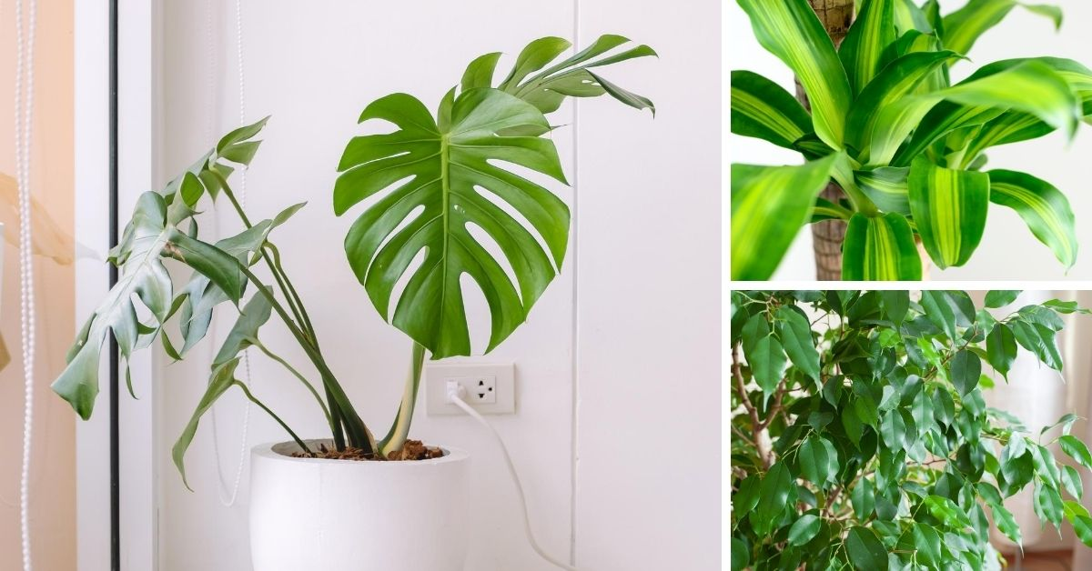 Top 10 Large Indoor Plants The Girl With A Shovel